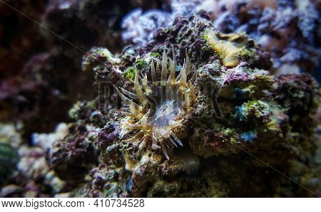 Aiptasia Small Glass Anemones Are Nasty Pest In Reef Aquariums