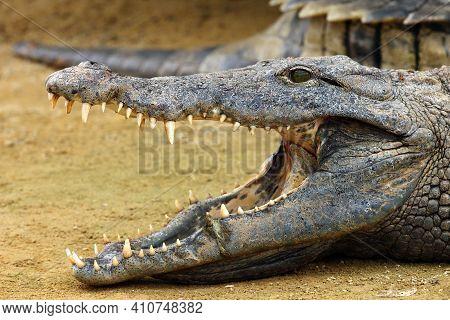 The Nile Crocodile (crocodylus Niloticus) ,nile Crocodile Portrait. Portrait With Open Jaw.huge Open