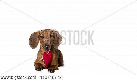 A Red-haired Dachshund Lying Against A Background Of A White Banner Holds A Red Heart Made Of Materi