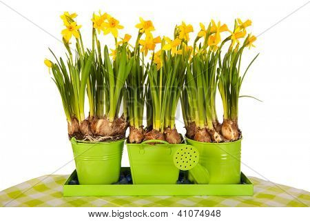 Yellow daffodils in spring in green flower pots