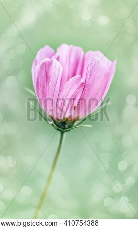 Single Pink Cosmos Flower Close Up. Selective Focus, Blurry Image. Vertical Crop. Close-up.