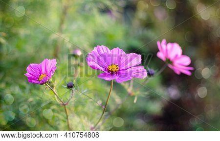 Beautiful Cosmos Flowers Close-up. Summer Floral Background. Cosmos Flowers Background.