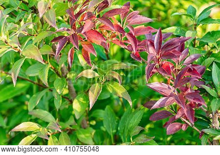 Green And Red Forsythia Leaves. Beautiful Natural Background From Leaves. Close-up.
