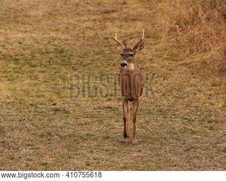 Four Point Buck Walking Through A Field