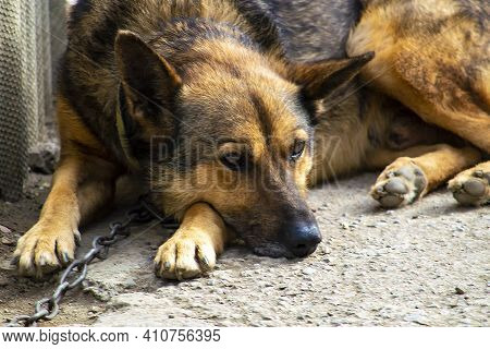 The Watchdog Is A Sheepdog On A Chain. Lies On The Path Near The Booth.