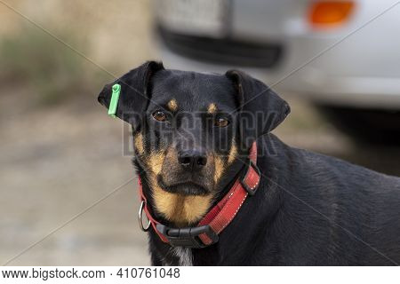 Black Sheepdog With Collar. Front View On A Clear Autumn Day. Front View On A Clear Autumn Day.