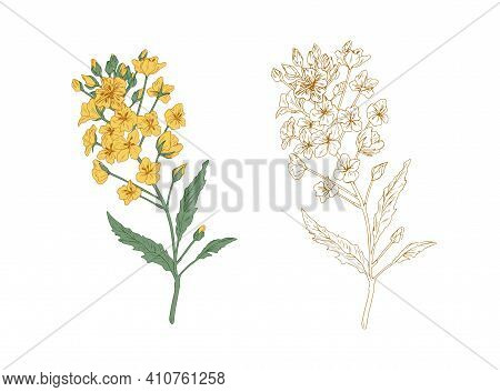 Colored Yellow Canola Flower And Unpainted Outlined Sketch Of Rapeseed Plant. Rape Branches. Contour
