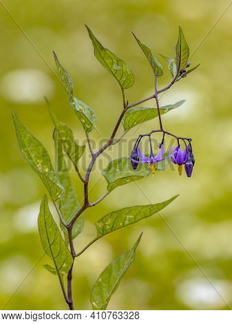 Bittersweet Nightshade (solanum Dulcamara) Plant, Leaves And Flowers In Bloom On Tranquil Green Back