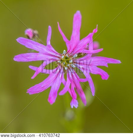 Flower Close Up Of Beautiful Ragged-robin (silene Flos-cuculi) Purple Spring Flower. This Jewel Of T