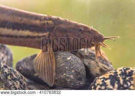Weather Loach (misgurnus Fossilis) Portrait In Natural Habitat Pond. Underwater Shot In The River. W