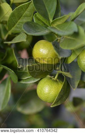 Sweet Lemon Pursha Unripe Fruit - Latin Name - Citrus Limetta Pursha