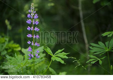 Lupine. Forest Flowers. In The Field, Lupins Grow On Tall, Powerful Stems With Delicate Pink And Pur