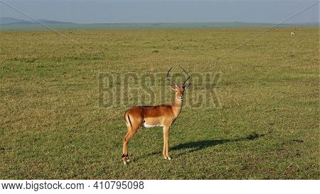A Graceful Impala Antelope Stands On The Green Grass Of The Savanna, Looking At The Camera. Brown Fu