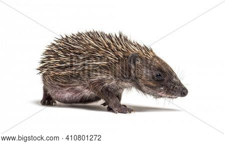 Young European hedgehog walking looking at the camera, isolated on white