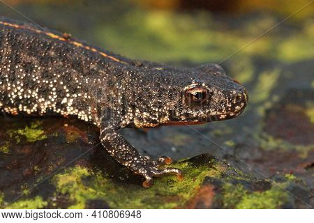 Closeup Of A Terrestrial Juvenile Of The Balkan Crested Newt, Triturus Ivanbureschi