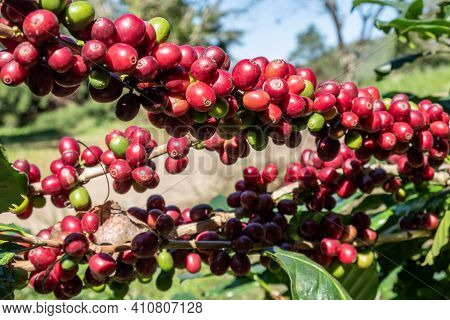 Raw Coffee Berries On Coffee Tree Branch In Coffee Plantation In Agriculture Farm. Coffea Tree Is A
