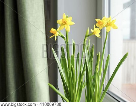 Hello Spring. Beautiful Spring Banner With Fresh Yellow Daffodil Flowers Grow In Pot On Windowsill.