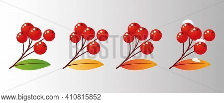 Four Rowan Tree Branches With Leaves And Berries For Different Seasons. Vector Illustration Mountain