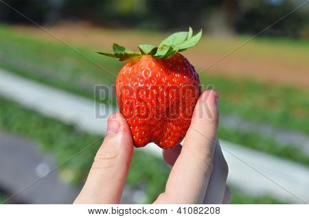 Fingers Hold The Beautiful Fresh Strawberry