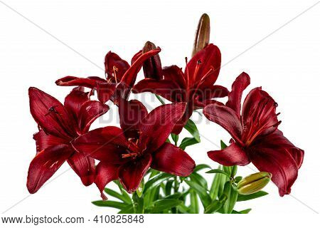 A Bouquet Of Red Day Lilies. Isolated On White Background.