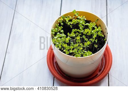 Edible Microgreens In A Pot On A Wooden Background. A Vegetable Garden On The Windowsill. Healthy Fo