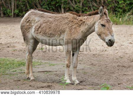 Turkmenian kulan (Equus hemionus kulan), also known as the Transcaspian wild ass.