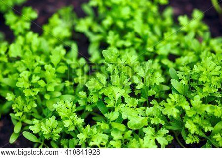 Green Young Organic Garden Cress Grows Outdoors.
