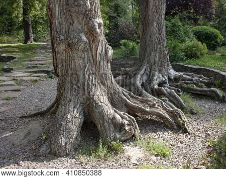 Two Old Trees With Roots Above The Ground In The Park Against The Background Of Green Trees