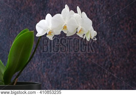 White Phalaenopsis Orchid And Dew Drops, Close Up