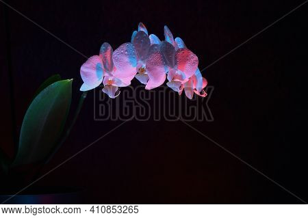 White Phalaenopsis Orchid With Red And Blue Gel Filters