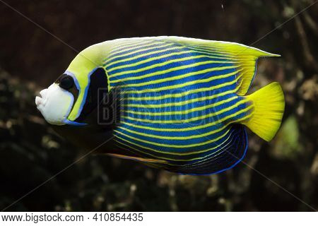 Emperor angelfish (Pomacanthus imperator). Tropical fish.