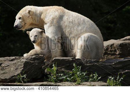 Polar bear (Ursus maritimus) with its cub.