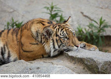 Sumatran tiger cub (Panthera tigris sumatrae).
