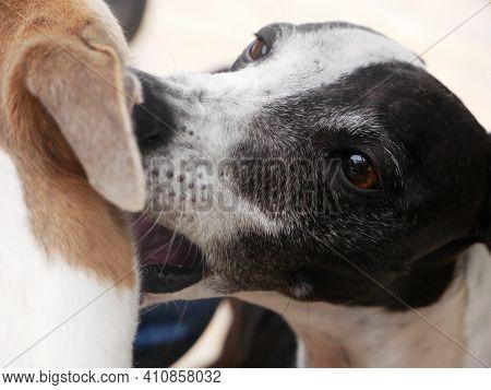 Portrait Of A Black And White Greyhound Cuddling Another Brown Greyhound