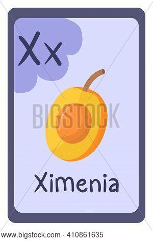 Colorful Abc Education Flash Card, Letter X - Ximenia, Orange Fruit. Alphabet Vector Illustration Wi