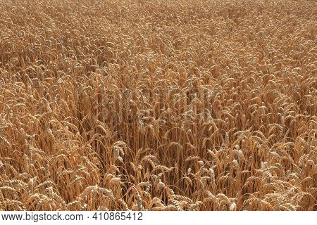 Ripe Wheat Ears, Full Frame. Harvest Cereals, Background. Backdrop Of Ripening Ears Of Yellow Cereal