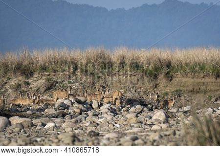 Alert Spotted Deer Or Chital Or Cheetal Or Axis Axis Herd In Scenic Landscape Of Dhikala Zone Of Jim