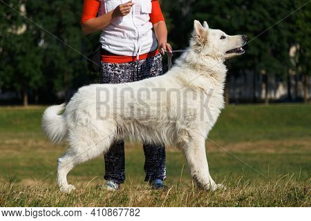 A White Swiss Shepherd Dog Stands In A Meadow