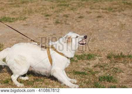A White Swiss Shepherd Dog Barks At An Attacking Instructor