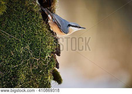 Eurasian Nuthatch (sitta Europaea) Sitting On The Tree Trunk
