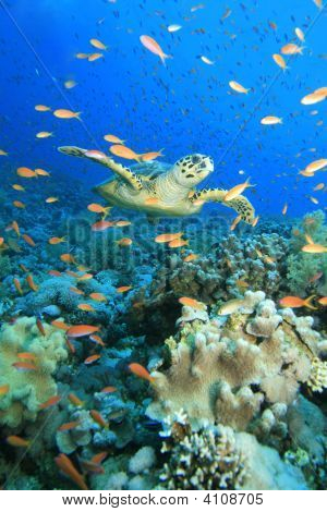 Turtle In Anthias