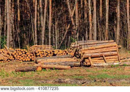 Stacked Tree Trunks Felled By The Logging Timber Industry In Pine Forest