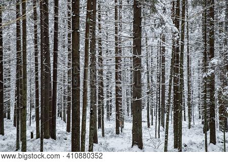 Winter Tree, The Massif From A Trunk Of Trees Going To Perspective, Trunks Of Larches. Forest Abstra