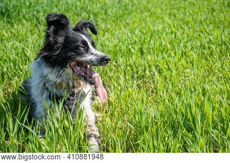 Black And White Border Collie Smiling In The Meadow