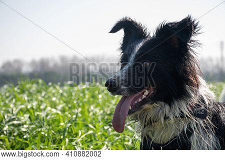 Black And White Border Collie With Flowers In The Background