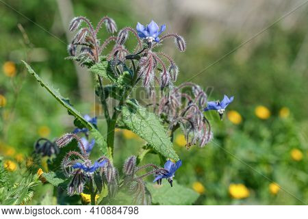 Spring Flowers Of Medicinal Officinalis Borage Plant Close Up.borago Officinalis