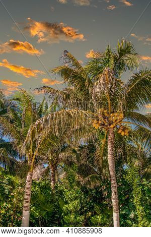 Coconut Palms In Late Afternoon Light In The Tropics
