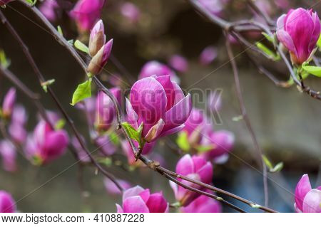 Beautiful Pink Magnolia Soulangeana Flowers On A Tree. In The Spring Garden, Magnolia Blooms. Bloomi