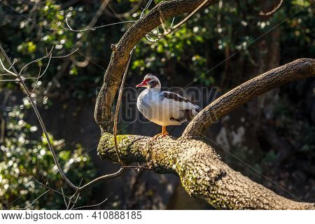 A Musk Duck Sits In A Tree, Illuminated From Behind By The Sun. Wild Nature.