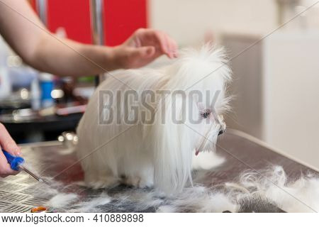 Professional Care For The Dog Maltese Lap Dog. Grooming The Dog In The Grooming Salon.
